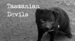 Tasmanian Devil- Shipstern Bluff