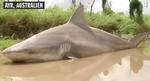 debbie-shark