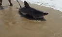 Rescuing-a-baby-Great-White-Shark