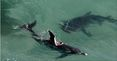 Earlier this year a 3.5 metre tiger shark was seen attacking a pod of dolphins just 50 metres from the shoreline of a popular beach in Newcastle, NSW