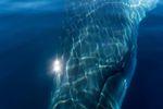 Antarktischer Zwergwal geht auf Tuchfühlung mit Kajakfahrern - Foto: Marilyn Scriver/One Ocean Expeditions